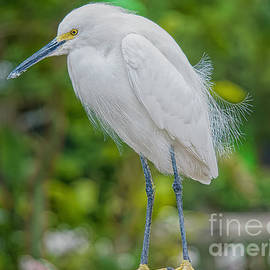 A Snowy Egret at Anhinga Trail by Judy Kay