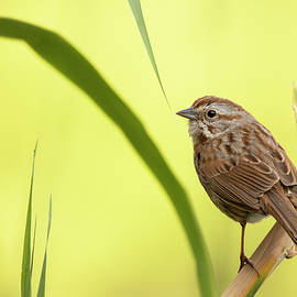 A Song Sparrow by Sue Cullumber