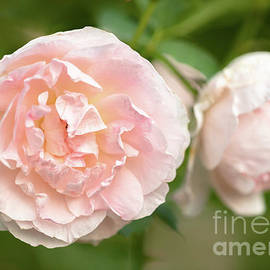 A Stunning Pink Garden Roses by Janice Noto