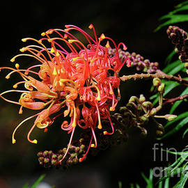 A Superb Grevillea by Neil Maclachlan