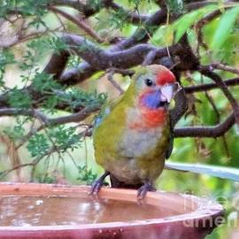 A Sweet Juvenile Rosella Quenching his Thirst. 'Arilka'. Adelaide Hills.  by Rita Blom