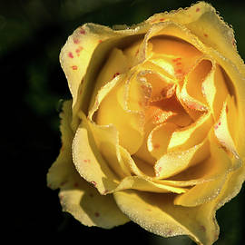 A Terrific Yellow Rose by Don Johnson