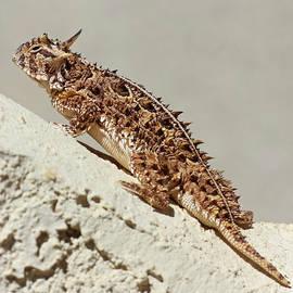 A Texas Horned Lizard Against a Stucco Wall by Derrick Neill