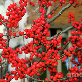 A Very Berry Christmas by Michael May