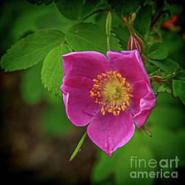 A Wild Rose by Robert Bales