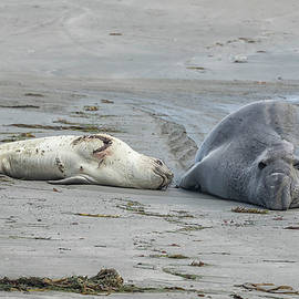 A Wounded Female Elephant Seal with Male by Belinda Greb