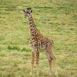 A Young Giraffe by Robert Tubesing