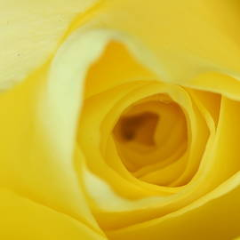 Abstract Yellow Rose by Neil R Finlay