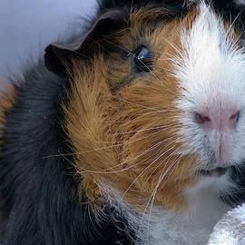 Abyssinian guinea pig portrait by Loren Dowding