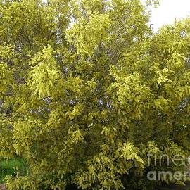 Acacia howittii Australian Native.  by Rita Blom