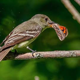 Acadian Flycatcher And Moth by Morris Finkelstein