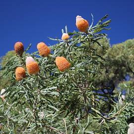 Acorn Banksia by Michaela Perryman