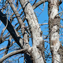 Acorn Woodpeckers in Tree by Anthony Jones