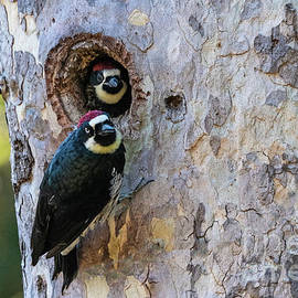Acorn Woodpeckers Nesting by Robert Goodell