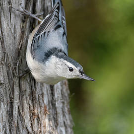 Acrobat - White-breasted Nuthatch - sitta carolinensis by Spencer Bush