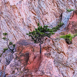 Adapt Overcome - Tree on Mountain 001630 by Renny Spencer
