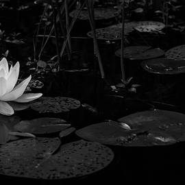 Adirondack White Water Lily by Linda MacFarland