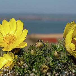 Adonis vernalis by Andreas Levi