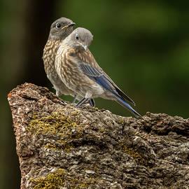 Adorable Bluebird Baby Duo by Jean Noren