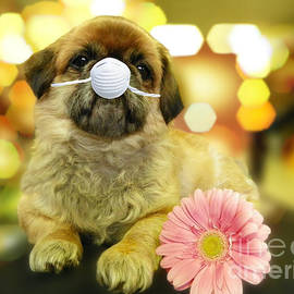 Adorable Pekingese with a Pink Gerber Daisy Wearing a Mask by Robin Lee Mccarthy Photography