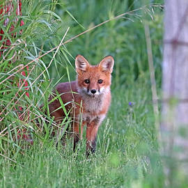 Adorable Red Fox Kit by Debbie Oppermann