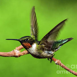 Adult Male Ruby-throated Hummingbird Taking Flight by Cindy Treger