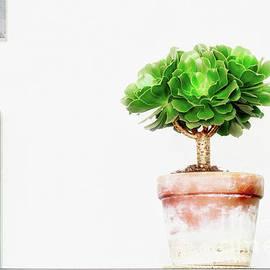 Aeonium Succulent by Charline Xia