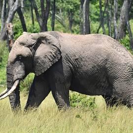 African Bush Elephant by Marta Kazmierska