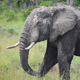 African Bush Elephant Portrait by Marta Kazmierska