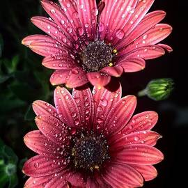 African Daisy by Yvette Andriopoulou