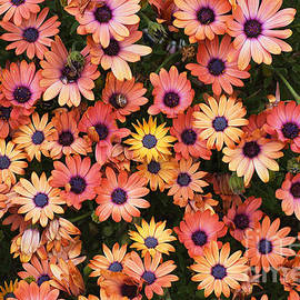 African Daisy Zion Red Display by Joy Watson