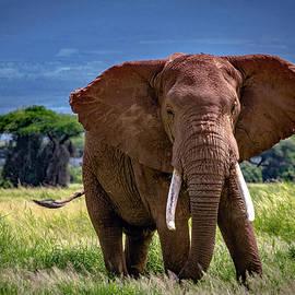African Elephant Bull - Amboseli  by Eric Albright