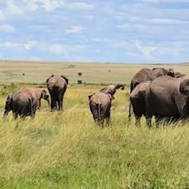 African Elephant Herd by Marta Kazmierska