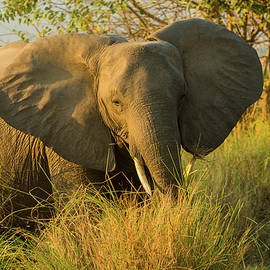 African Elephant in Mana Pools by Robert Goodell