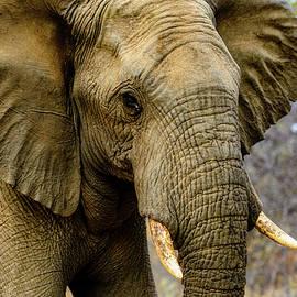 African Elephant by Jan Fijolek