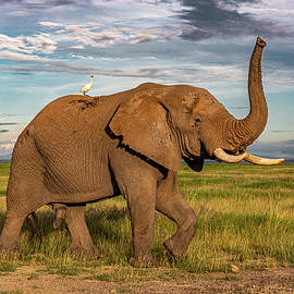 African Elephant of Amboseli  by Eric Albright