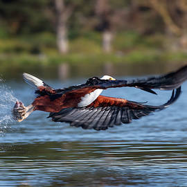African fish eagle focus by Murray Rudd