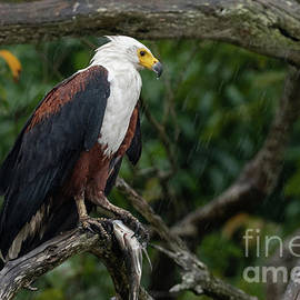 African Fish Eagle Perched with Prey in the Rain