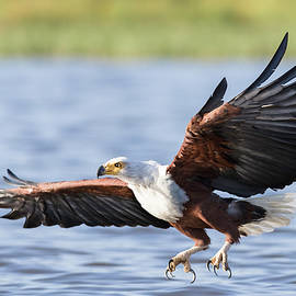African fish eagle with talons extended by Murray Rudd