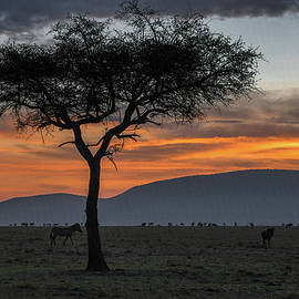 African Senegalia Tree at Sunrise by Eric Albright