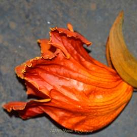African Tulip by Sonali Gangane