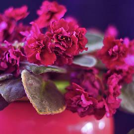 African Violet 'Sunset Kiss' by Susan Maxwell Schmidt