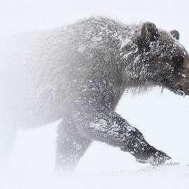 Alaska - grizzly bear in Denali national park by Olivier Parent