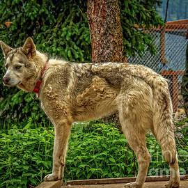 Alaskan Husky by Robert Bales