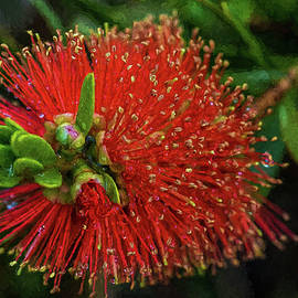 Albany Bottlebrush by Bette Devine