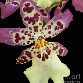 Aliceara Clownish 'Cotton Candy' Orchid  by Ruth Jolly