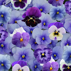All Violet Pansies - A Collage by Isabela and Skender Cocoli