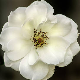 All White Rose by Don Johnson
