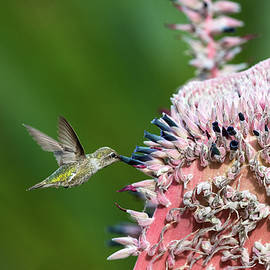 Allen's Hummingbird nectar feeding on a Pink Torch Puya by Robert Goodell