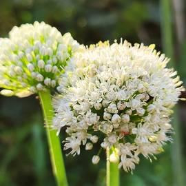 Allium cepa flowers by Chirila Corina